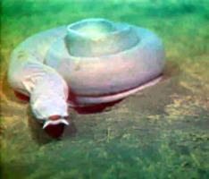 anghila vascoasa